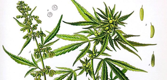 Understanding CBD Cannabis for Pets