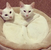 Two white cats cuddling