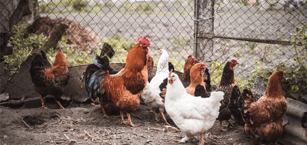 How Much Space Do Chickens Need To Roam