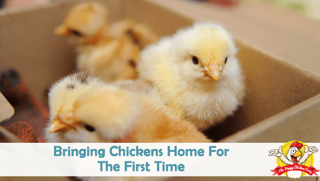 Bringing Chickens Home For The First Time Blog Cover