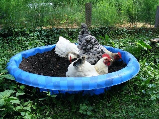 Homemade Chicken Dusting Bath