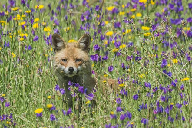 Fox Stalking Chickens