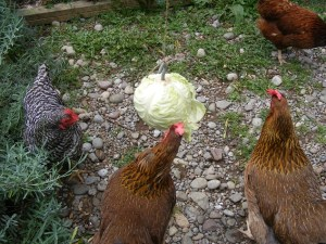 Chicken Cabbage Tetherball