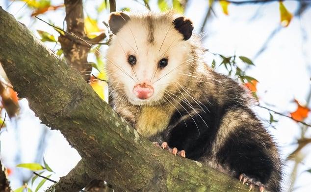 Possum Scavenging