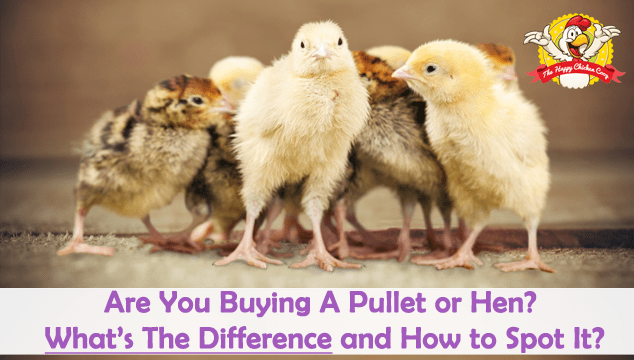 Are You Buying A Pullet or Hen Blog Cover