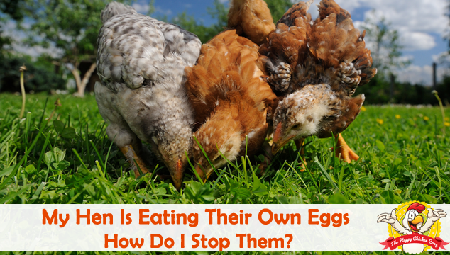 My Hen Is Eating Their Own Eggs Blog Cover