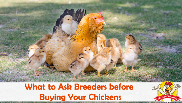 What to Ask Breeders before Buying Your Chickens Blog Cover