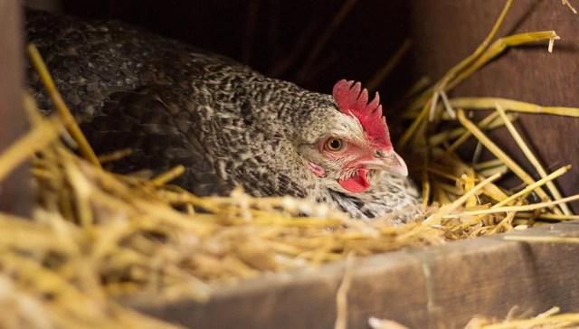 6 Easy Ways to Break a Broody Hen