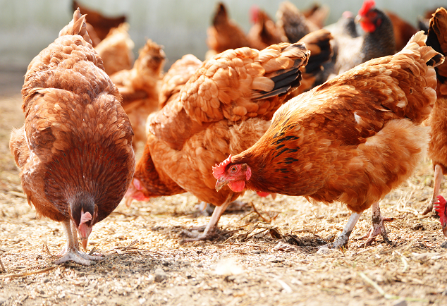 Chickens Eating Pellet Feed
