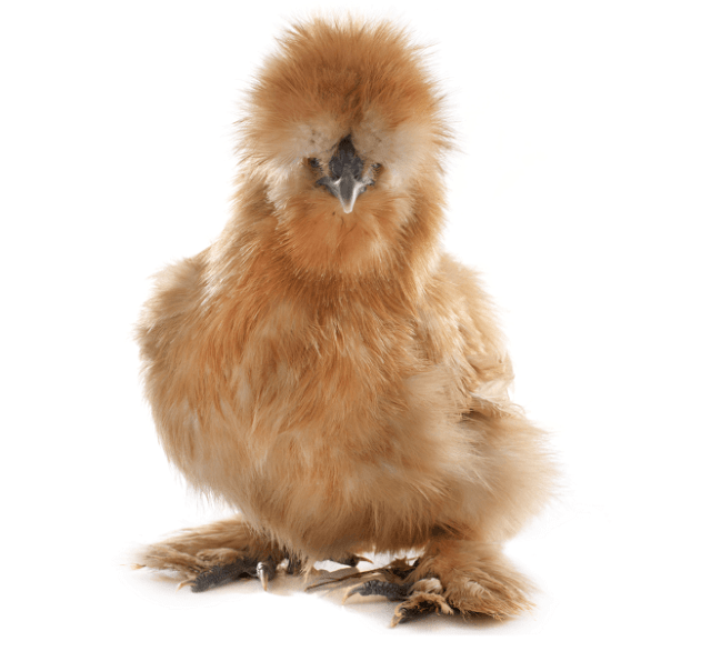 Bantam Chick