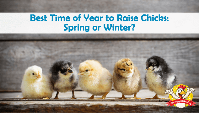 Best Time of Year to Raise Chicks Spring or Winter Blog Cover