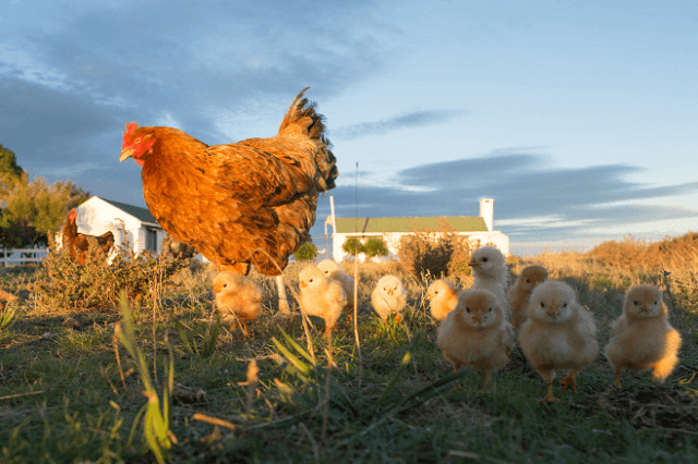 Broody Hen With Her Chicks