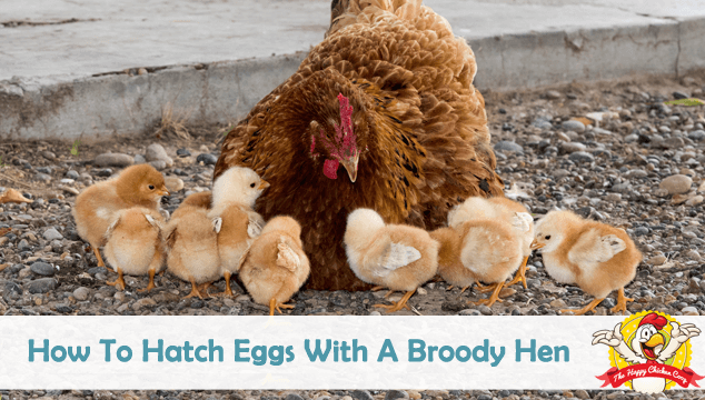 How To Hatch Eggs With A Broody Hen Blog Cover
