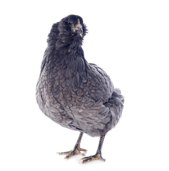 Young Araucana Chicken