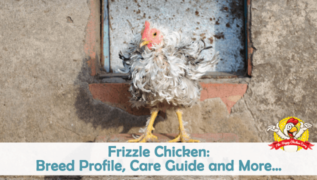 Frizzle Chicken Breed Profile, Care Guide and More Blog Cover
