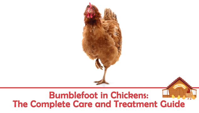 Bumblefoot in Chickens The Complete Care and Treatment Guide Blog Cover