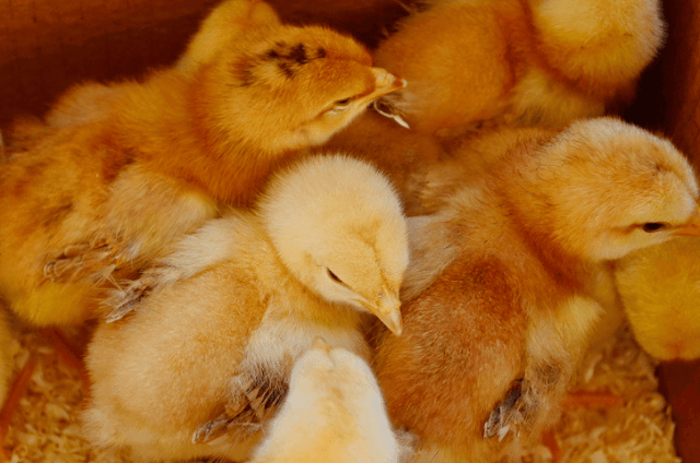 Chick in Brooder