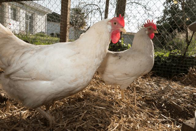Roaming Leghorn Chickens