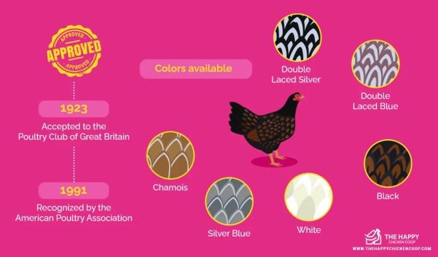 Barnevelder Chicken