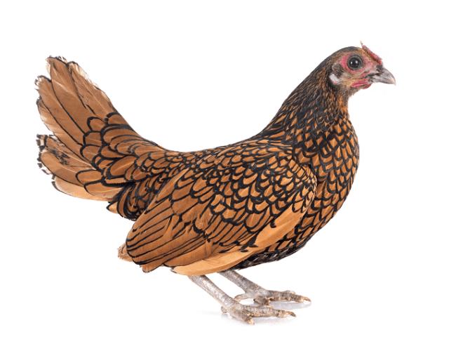 Sebright Chicken Apperance