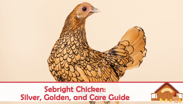 Sebright Chicken Silver, Golden, and Care Guide Blog Cover