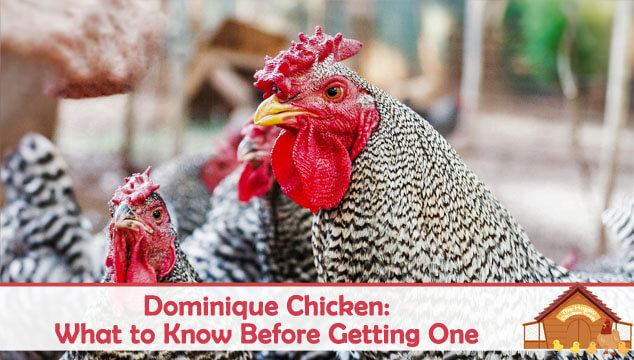 Dominique Chicken What to Know Before Getting One Blog Cover