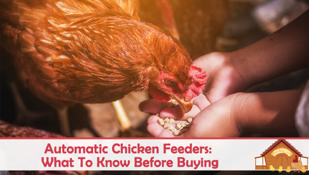 Automatic Chicken Feeders What To Know Before Buying Blog Cover