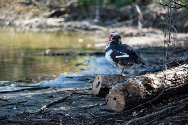 Muscovy Duck at River