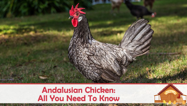 Andalusian Chicken All You Need To Know About This Blue Hen Blog Cover