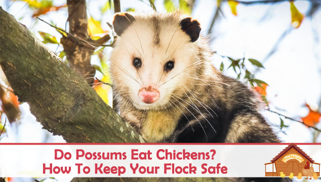 Do Possums Eat Chickens How To Keep Your Flock Safe Blog Cover