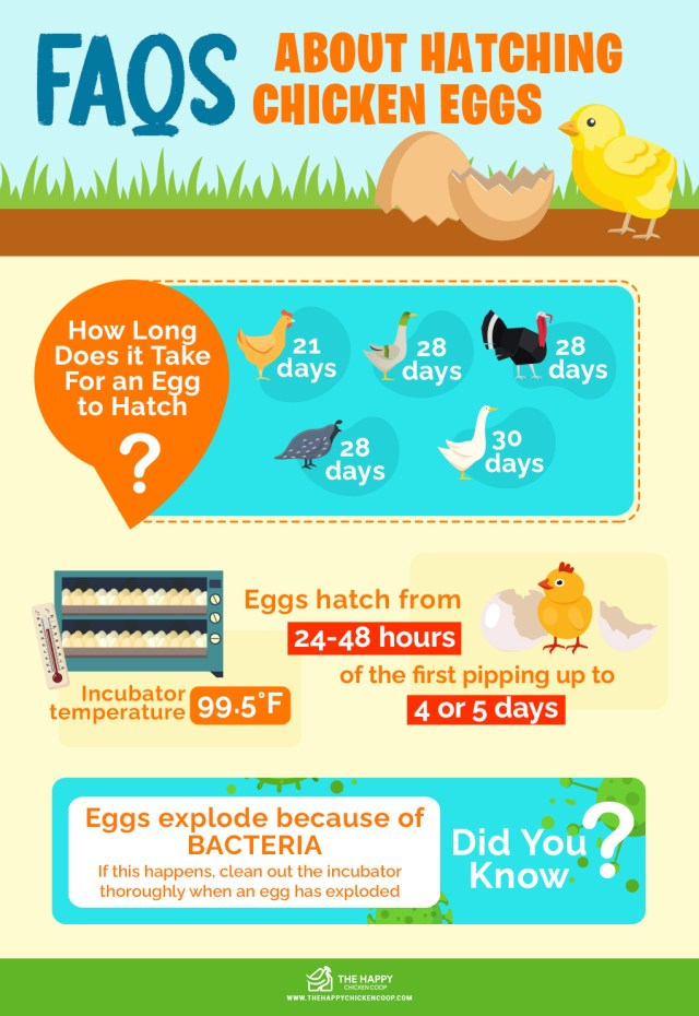 Guide To Hatching Eggs