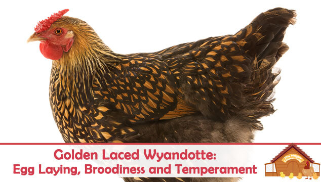 Golden Laced Wyandotte Egg Laying, Broodiness and Temperament Blog Cover