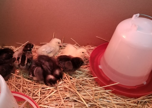 feeding and water chicks