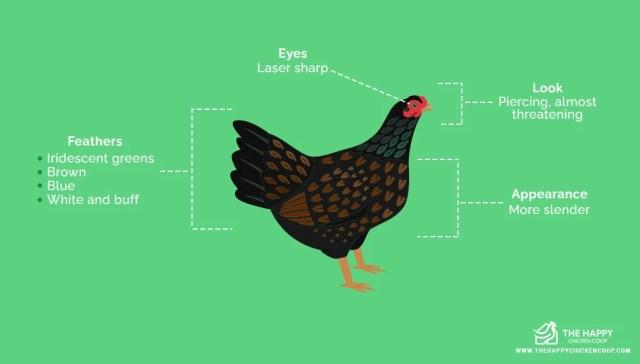 Cornish Chicken Breed