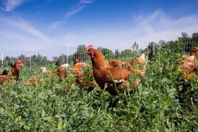 poulet étoile rouge