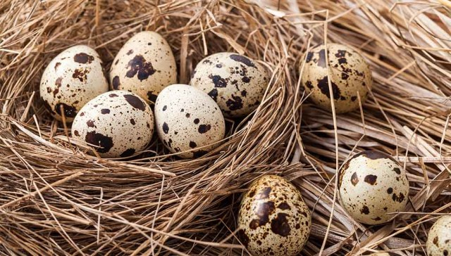 Everything You Need to Know About Quail Eggs