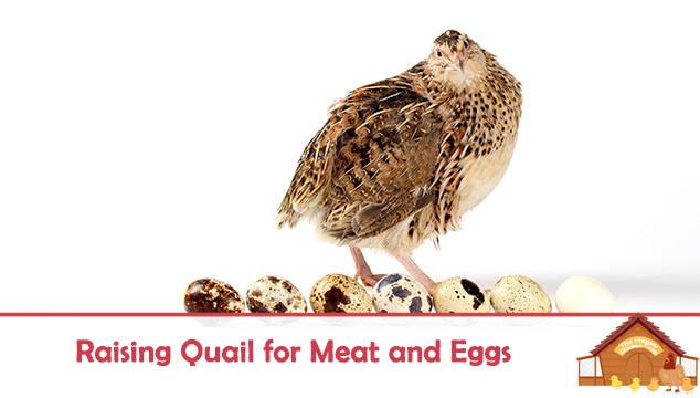 Raising Quail for Meat and Eggs