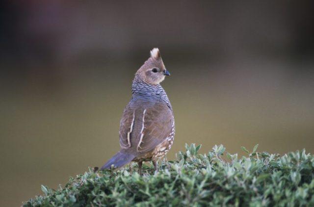 breeds of quail for homesteading