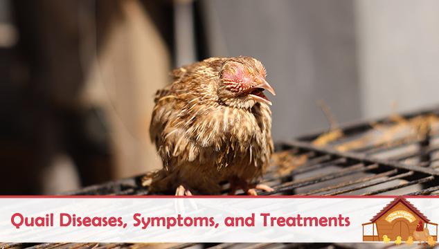 Quail Diseases Symptoms and Treatments