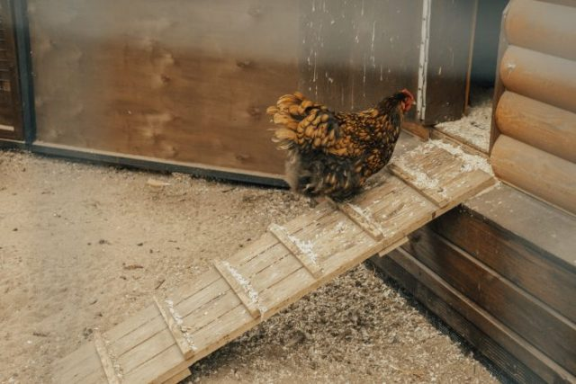 How to Get Your Chickens Back in The Coop