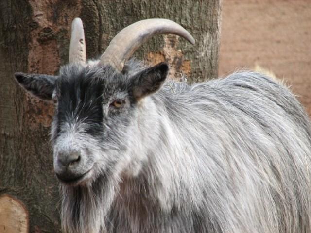 pygora goats