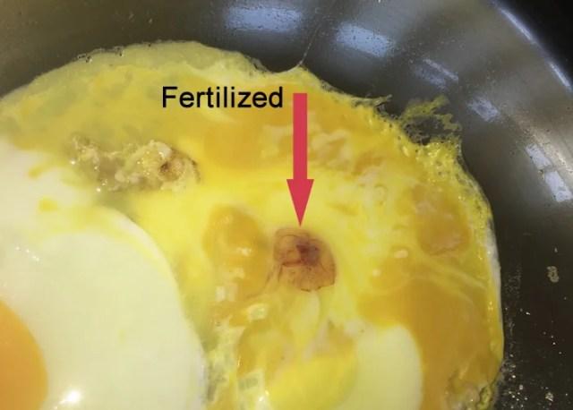 fertilized egg