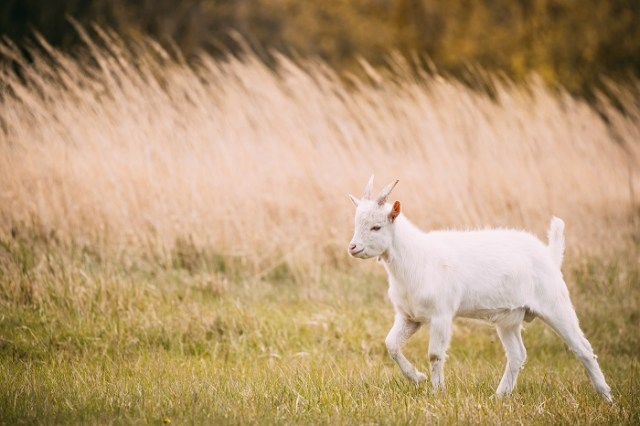 All You Need To Know About Goat Farming