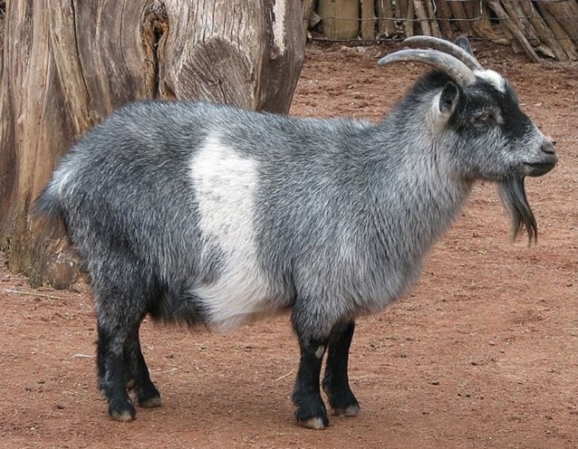 All About Nigerian Goats