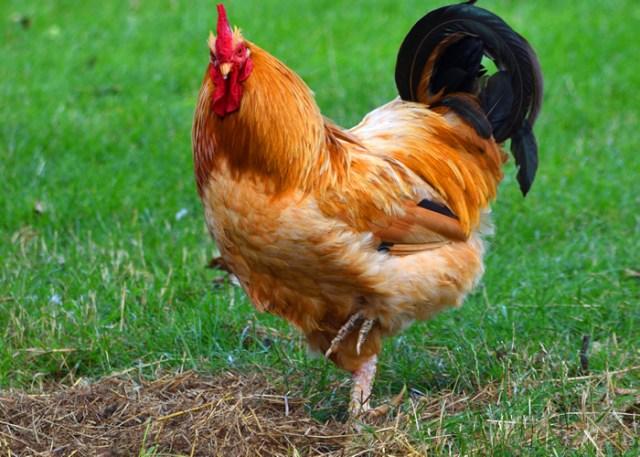 chicken on one leg