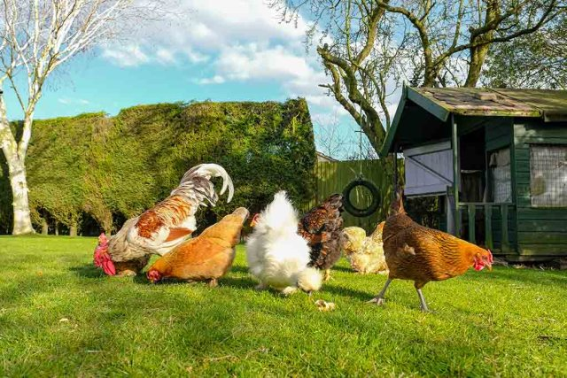 how long will my hens live