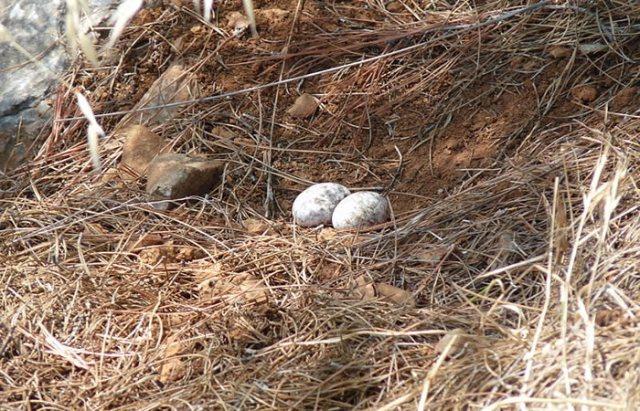 turkey eggs on ground