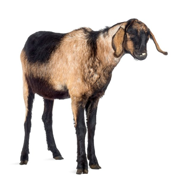 Nubian Goats- What you should know