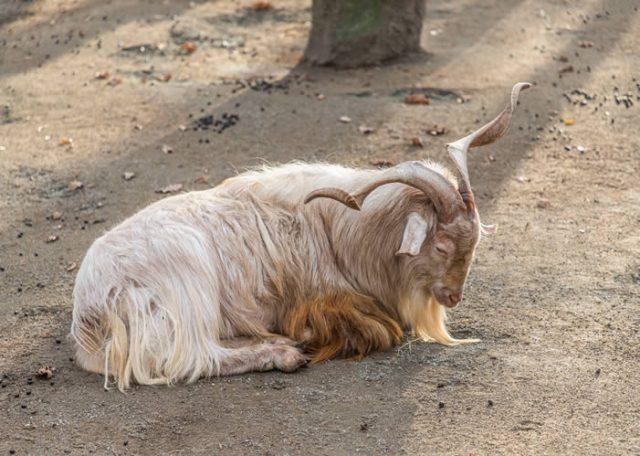 angora fiber goat