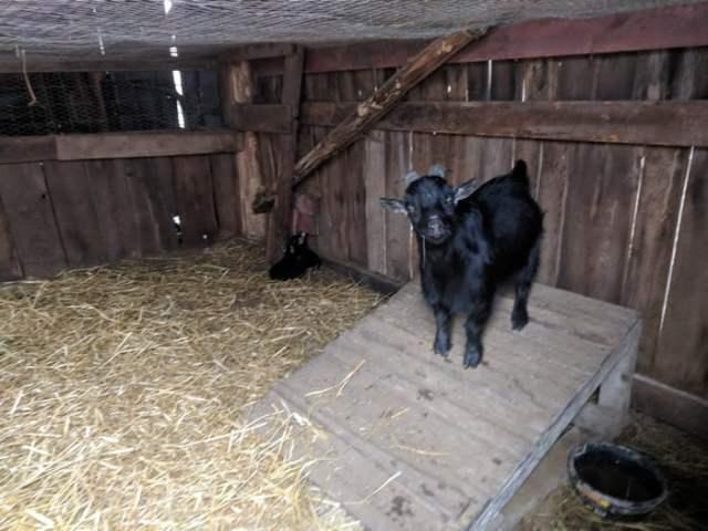 goat kid shed